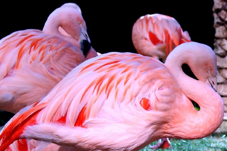 Flamingo8